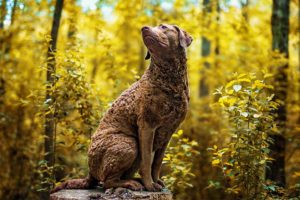 Chesapeake Bay Retriever sitting on a tree stump in the woods.