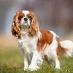 Cavalier King Charles Spaniel standing in the grass.