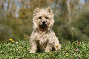 Cairn Terrier sitting in the grass.