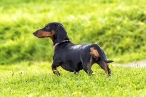 Dachshund standing in the park off leash.