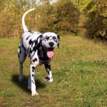 Dalmatian running in the grass outdoors.