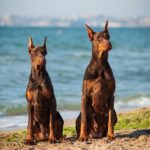 Doberman Pinschers sitting together on the beach.