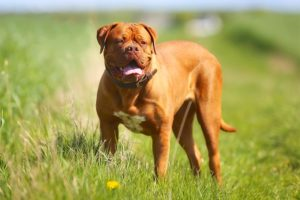 Dogue de Bordeaux standing in a field in the sunshine.