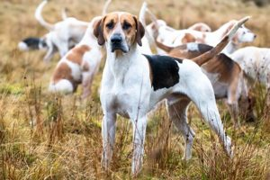 English Foxhound standing in a field with a pack.