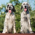 English Setters together outdoors.