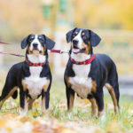 Entlebucher Mountain Dogs on leash standing in the park.