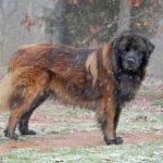 Estrela Mountain Dog standing outdoors during snowfall.