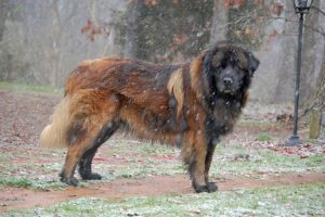 Estrela Mountain Dog standing outdoors during snowfall.