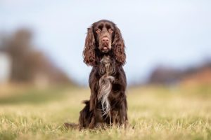 Field Spaniel sitting in a field.