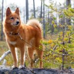 Finnish Spitz standing on a log in the forest.
