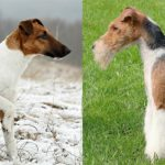 Fox Terriers, smooth on the left and wire on the right.