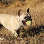 French Bulldog with a tennis ball in its mouth playing fetch.