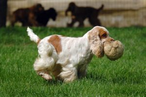 English Cocker Spaniel playing with a ball outdoors.