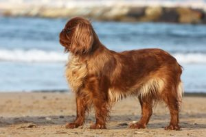 English Toy Spaniel standing in profile on the beach.