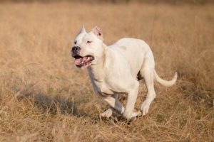 Dogo Argentino running in a field in the fall.