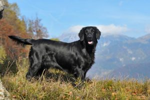 Flat-Coated Retriever standing in a mountainous landscape.