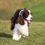 English Springer Spaniel running in a field.