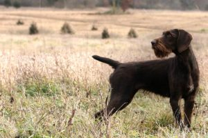 German Wirehaired Pointer standing in a field.