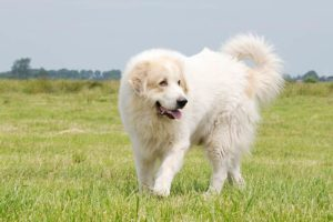 Great Pyrenees walking in a field.