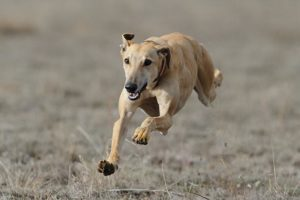 Greyhound running in a field.