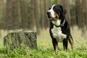 Greater Swiss Mountain Dog standing in the forest.