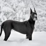 Great Dane playing in the snow.