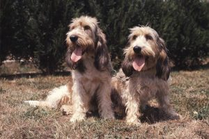 Two Grand Basset Griffon Vendeen side by side outdoors.