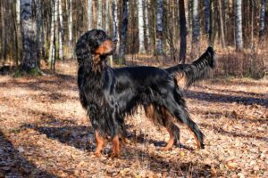 Gordon Setter standing in a forest in the fall.