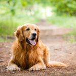 Golden Retriever laying down on a trail in the forest.