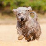 Glen of Imaal Terrier running outdoors.