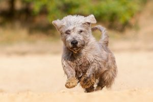 Glen of Imaal Terrier running outdoors.