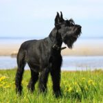 Giant Schnauzer standing in a field of flowers.