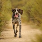 German Shorthaired Pointer running on a dirt path through brush.