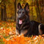 German Shepherd Dog laying down amongst the fall leaves.