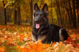 German Shepherd Dog laying down amongst the fall leaves.