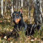German Pinscher laying down in the forest.