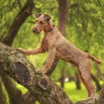 Irish Terrier exploring a tree in the park.
