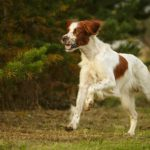 Irish Red and White Setter running outdoors.