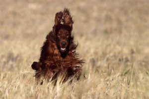 Irish Setter running in a field.