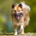 Icelandic Sheepdog walking outdoors.