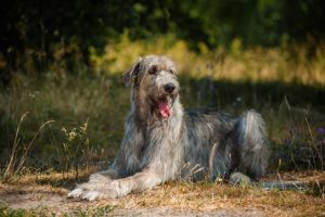Irish Wolfhound laying down outdoors.