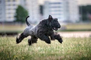Kerry Blue Terrier running in a park.