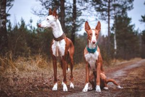 Ibizan Hounds together on a trail in the forest.