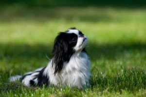 Japanese Chin sitting in the grass.