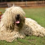 Komondor laying down in the garden.