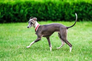 Italian Greyhound playing in the yard.