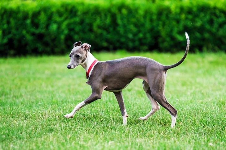 Italian Greyhound playing in the yard.