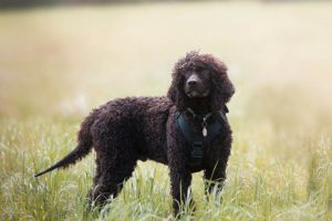 Irish Water Spaniel wearing a harness standing in a field off leash.