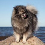 Keeshond standing on the coast.