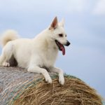 Norwegian Buhund laying atop a bale of hay.